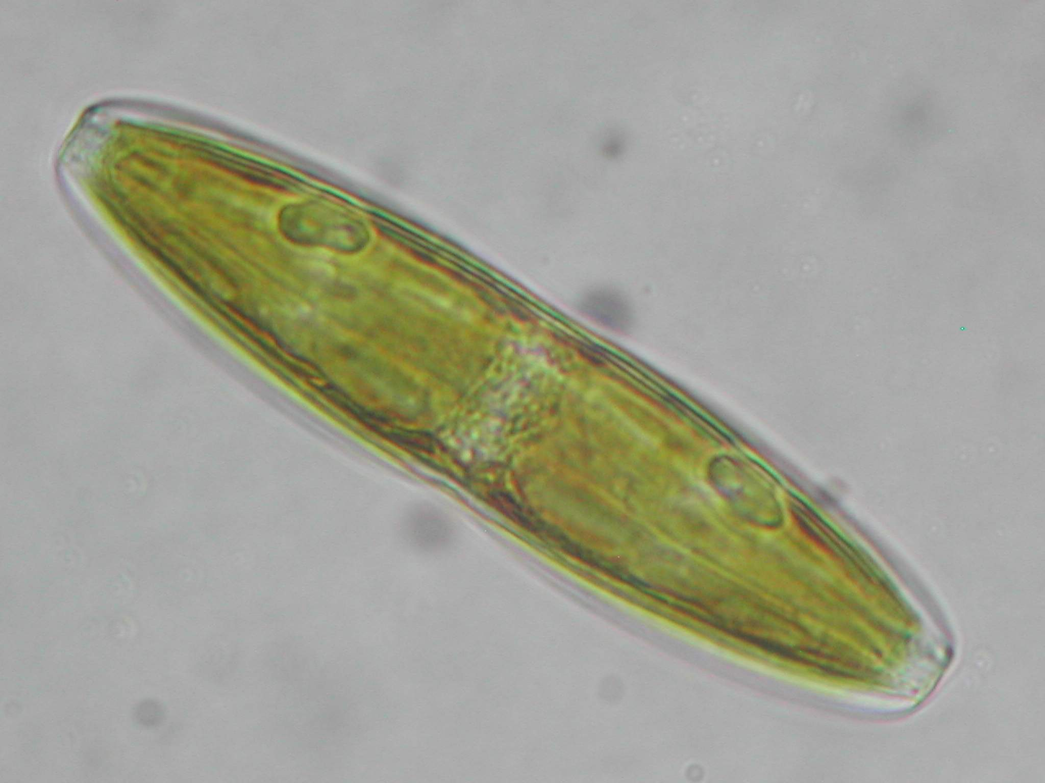 Diatom - this diatom is common in salt marshes and salt flats Diatom Cell