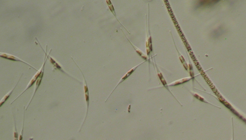 Cylindrothecia diatoms from Drawbridges, the weep stream.